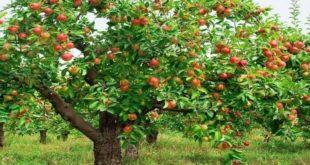 Rüyada Elma Ağacı Görmek