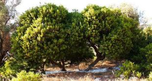 Rüyada Sakız Ağacı Görmek